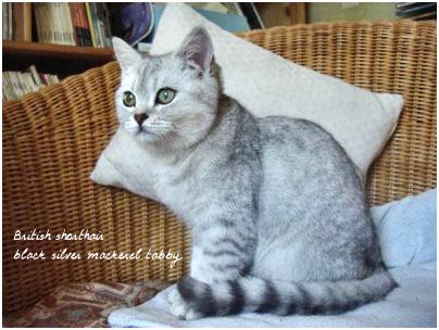 British shorthair black silver