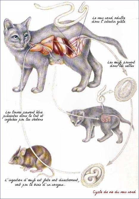 Les ankylostomatidoses ou ankylostomoses sont des helminthoses dues à la  pénétration, la migration, puis à l\u0027installation dans l\u0027intestin grêle de  nématodes