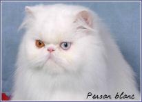 persan blanc