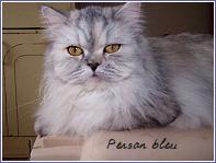 persan bleu