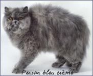 persan bleu crème