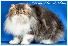 persan bleu et blanc