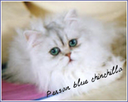 persan blue chinchilla