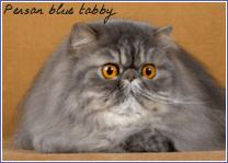 persan blue tabby