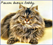persan brown tabby
