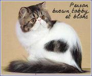 persans brown tabby et blanc