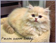 persan cream tabby