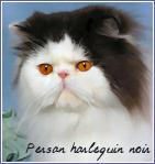 persan harlequin noir