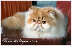 persan harlequin roux