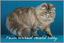 persans mackerel chocolat tabby