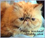 persans mackerel tabby roux