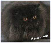 persan noir