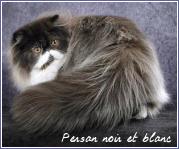 persan noir et blanc