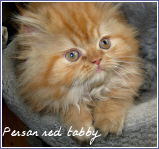 persan red tabby