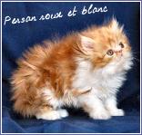persan roux et blanc