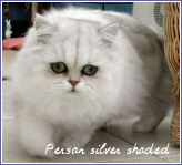 persan silver shaded
