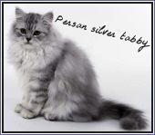 persan silver tabby