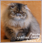 persans spotted tabby brown