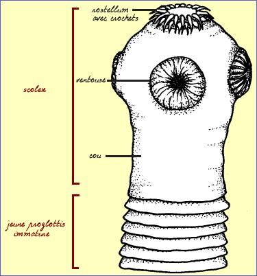 Comme recueillir lexcrément pour lanalyse sur la lamblia